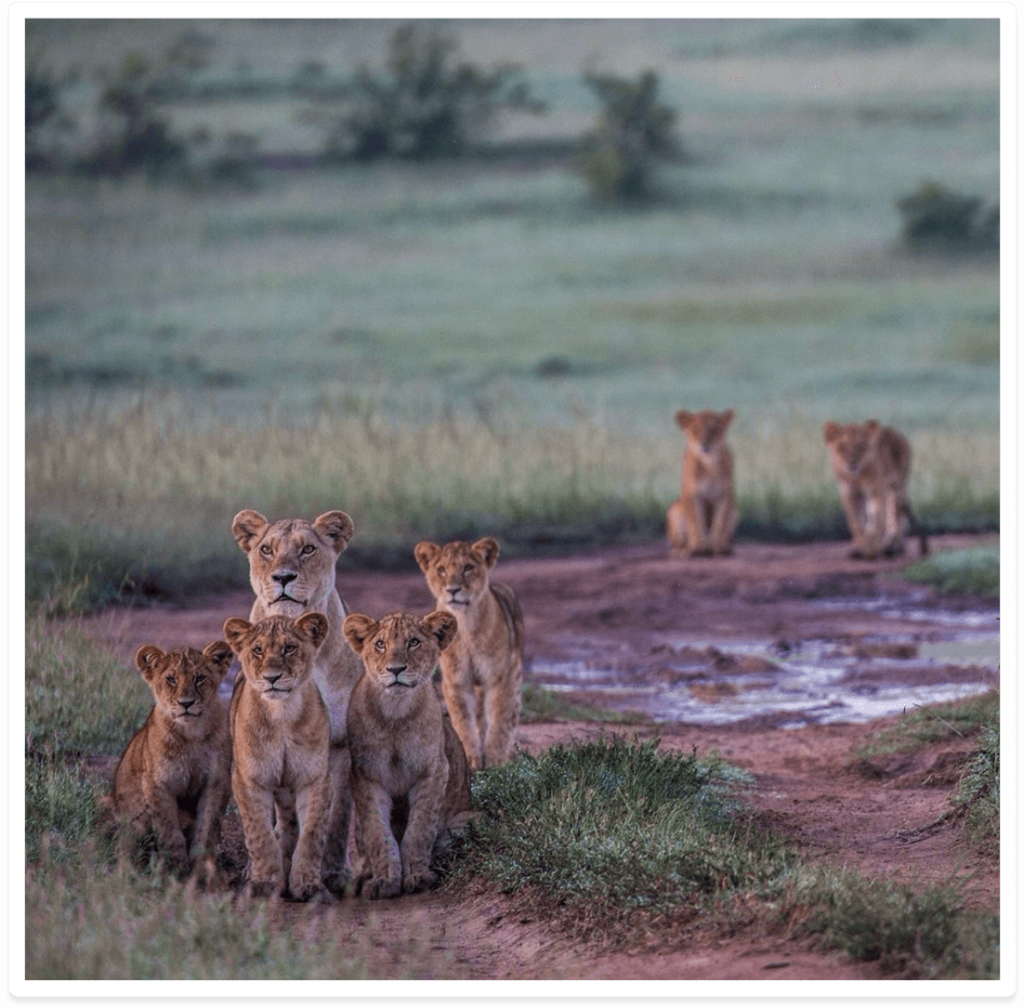 Africa Born Lions in the Masai Mara