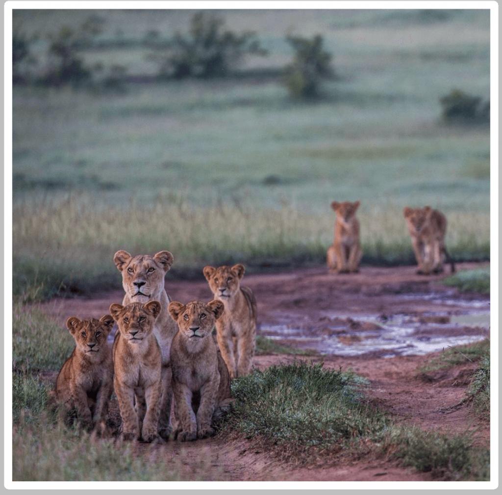 Africa Born Lions in the Masai Mara