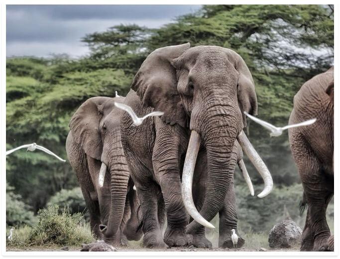 Africa Born Tim the Elephant