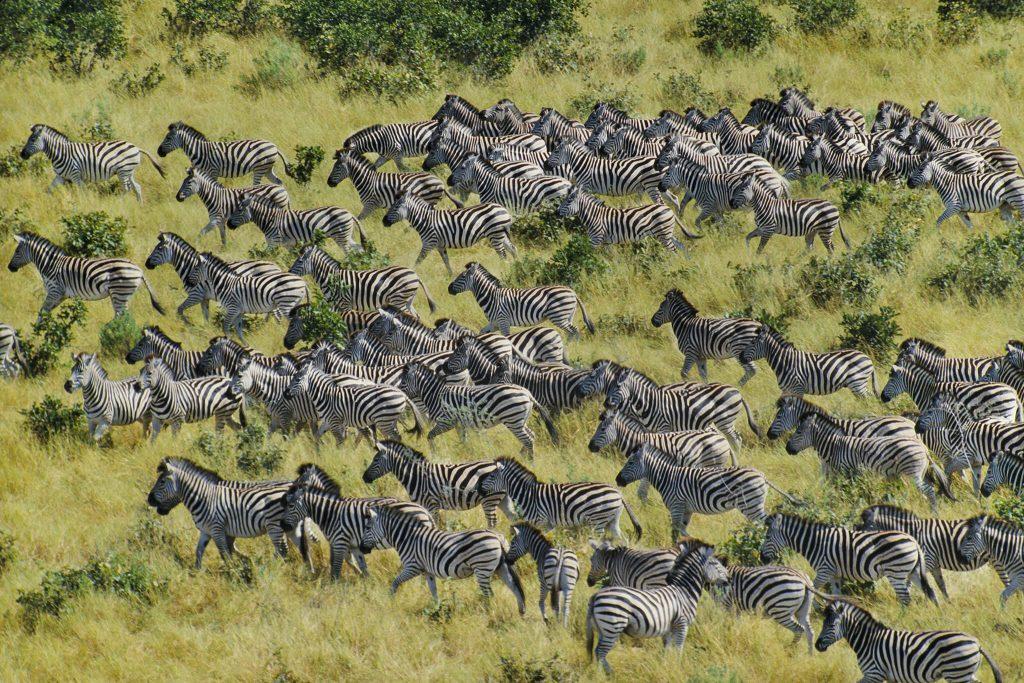 best time to travel to Botswana - Zebra migration