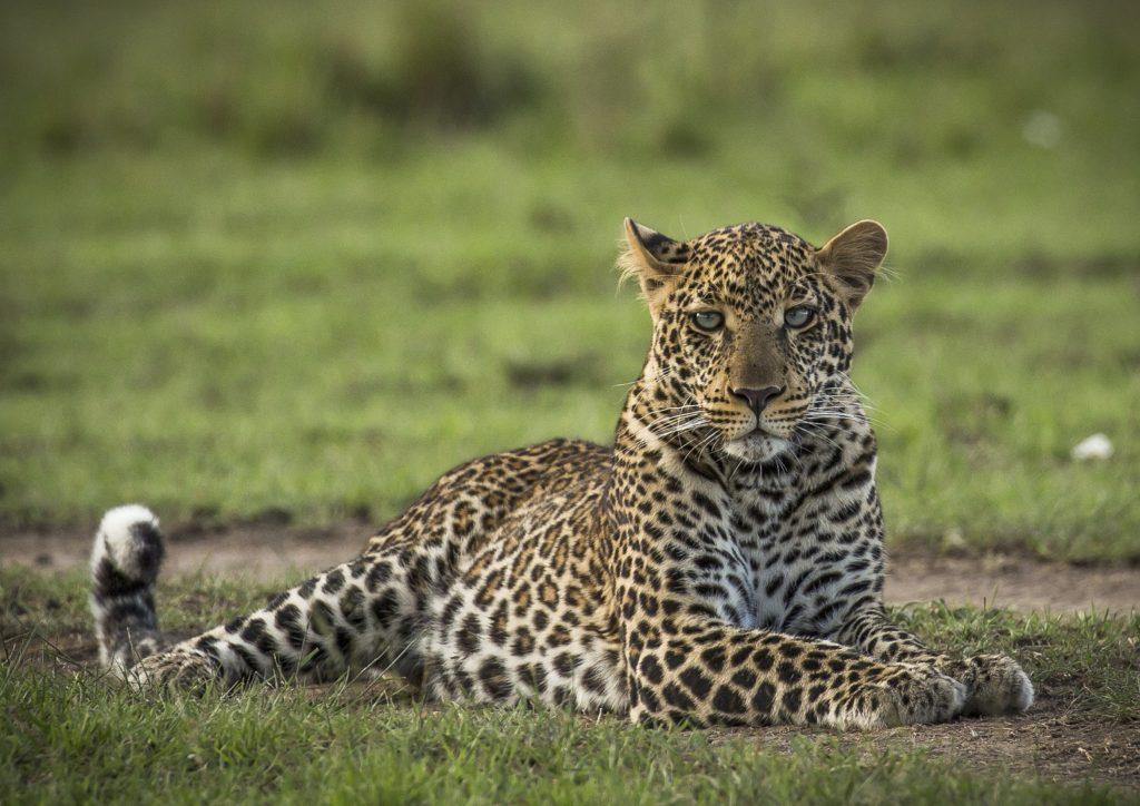 Africa Born Leopard - Sam Stogdale